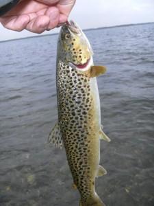 Gylden augustfisk fra Limfjorden